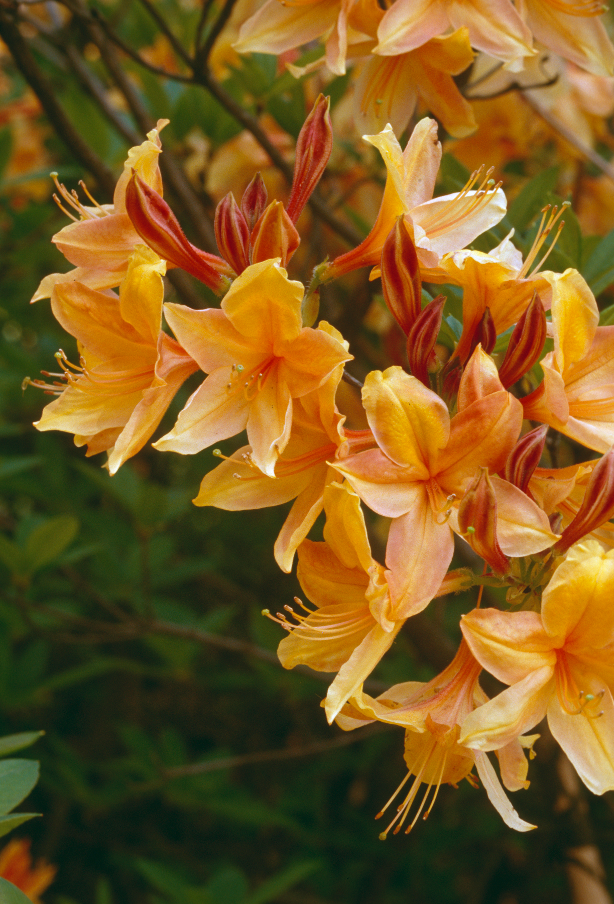 As One Of The Famed U0027Lightsu0027 Series Of Azaleas, U0027Golden Lightsu0027 Brought Not  Only Brighter Color But Greater Mildew Resistance To Northern Lights Azaleas .