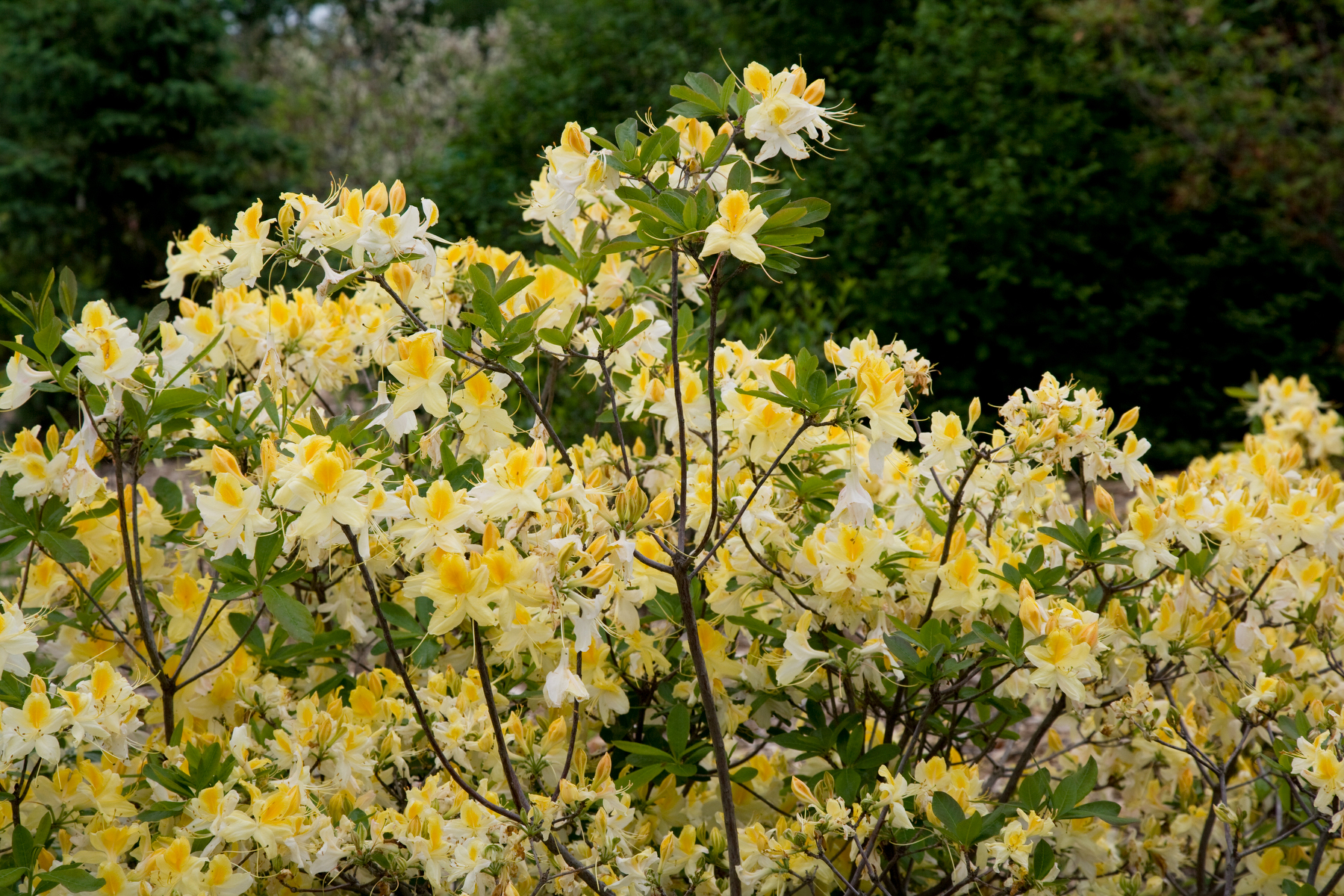 Northern Hilights Azalea